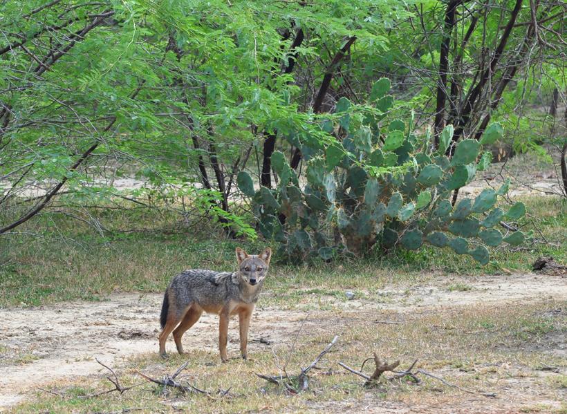 jakhals in Bundala Nationaal Park