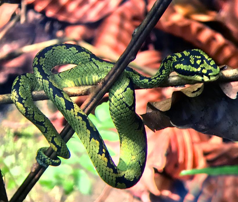 groene gifadder Sinharaja regenwoud