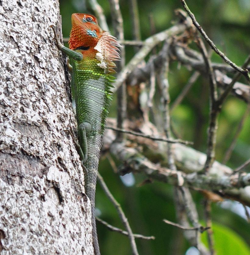 groene boshagedis Sinharaja regenwoud