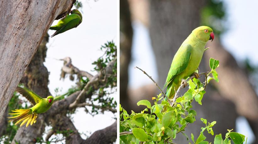 groene papegaai in Bundala Nationaal Park
