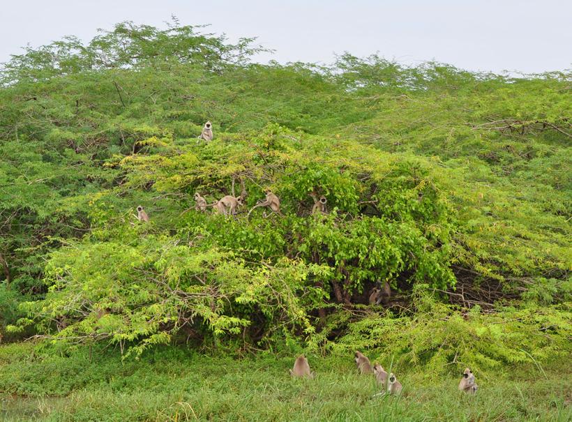 langoeren in Bundala Nationaal Park