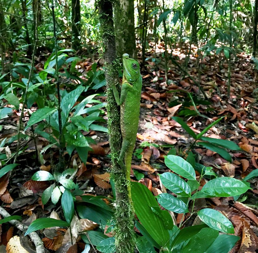 groene hagedis sinharaja regenwoud