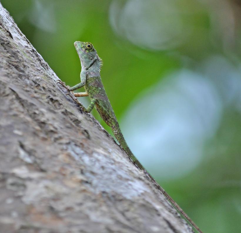 kleine hagedis in Sinharaja regenwoud