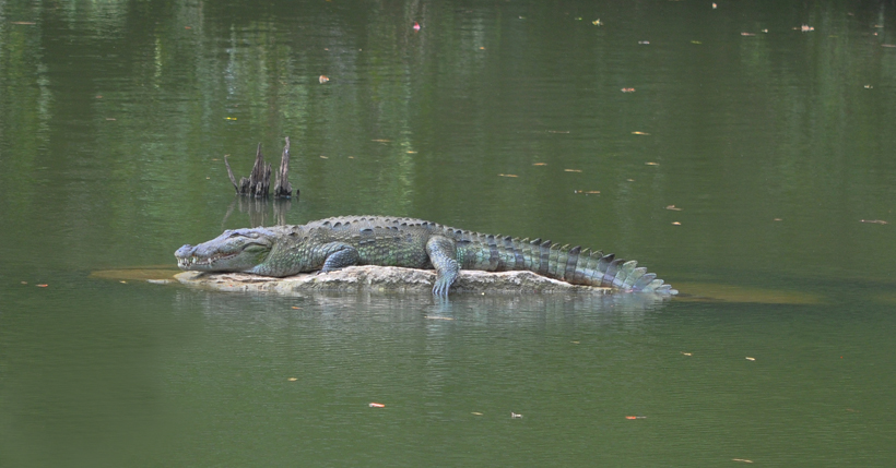 krokodil in Kaudulla Nationaal Park