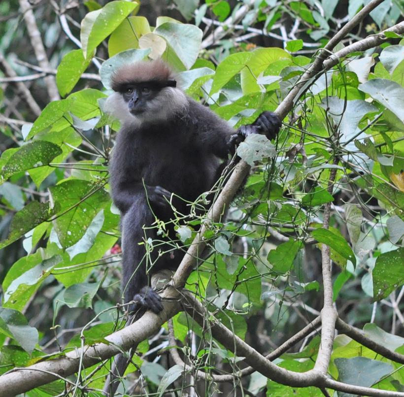 grijze hoelman aap Sinharaja regenwoud