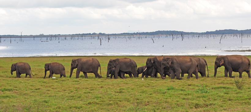 kudde olifanten in Kaudulla Nationaal Park