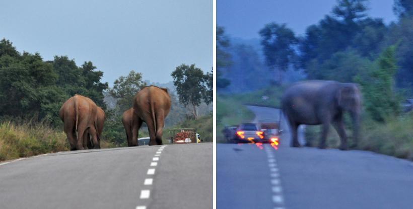 Olifanten op de weg in Maha Oya