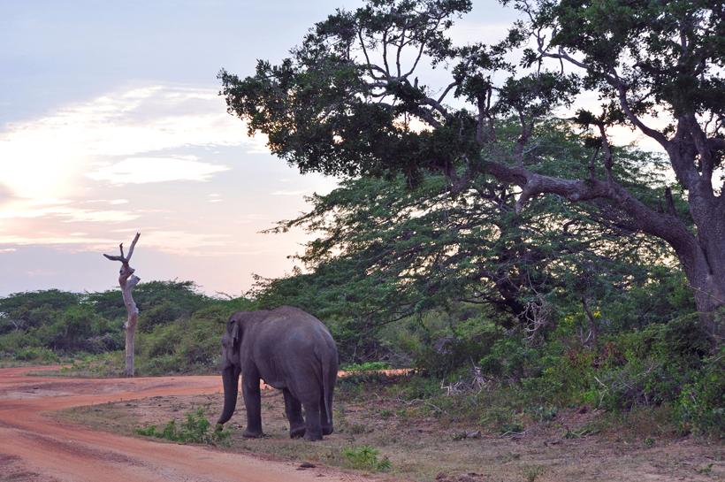 olifant in Bundala Nationaal Park