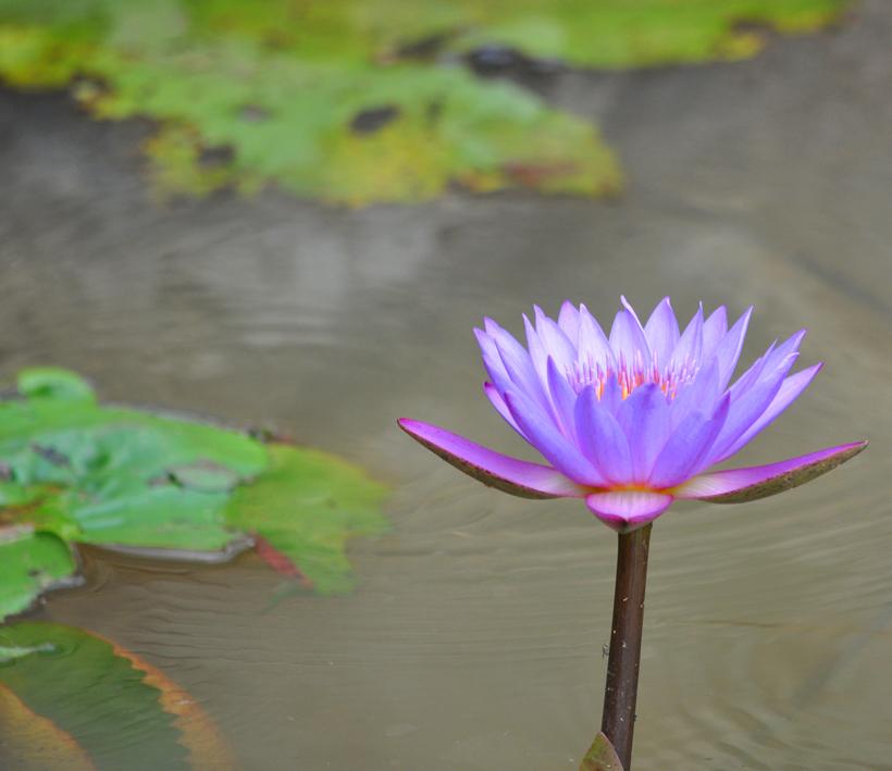 paarse lotusbloem sri lanka