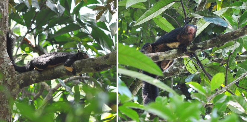 reuzeneekhoorn sinharaja regenwoud