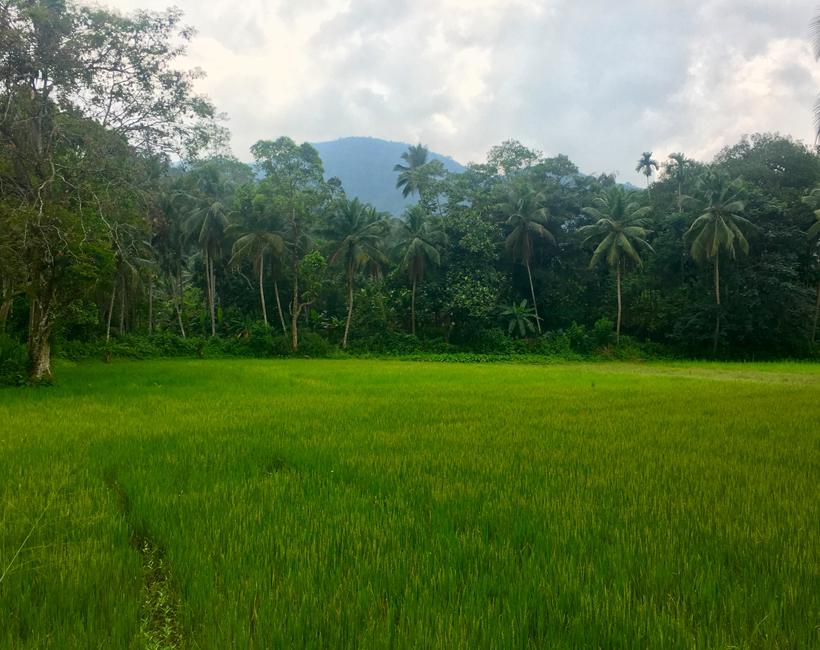 rijstveld naast Sinharaja regenwoud