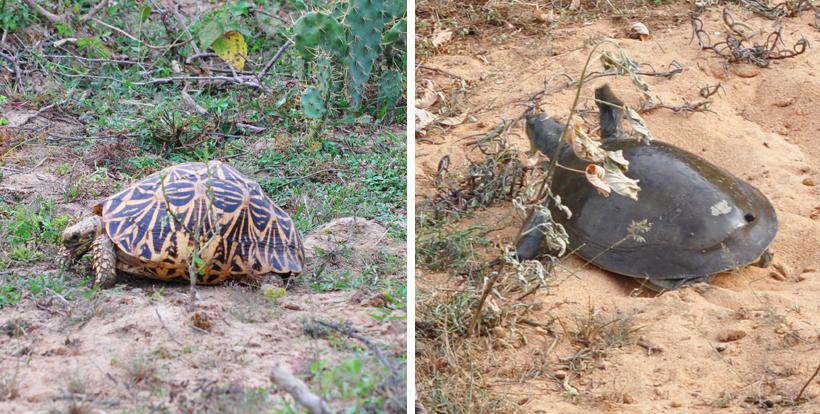 schildpadden in Bundala Nationaal Park