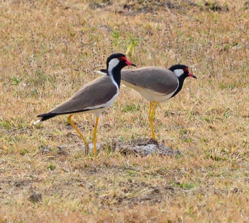 watervogels in Bundala Nationaal Park