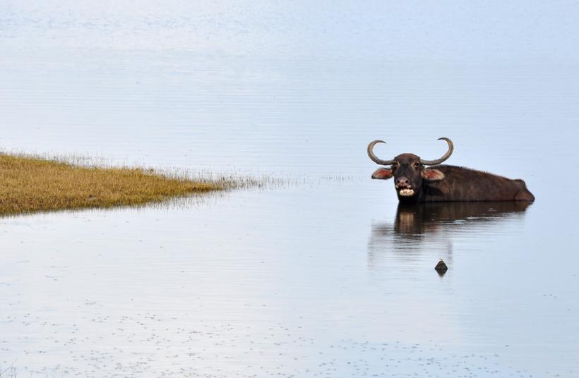 waterbuffel in maduru oya bij Maha Oya
