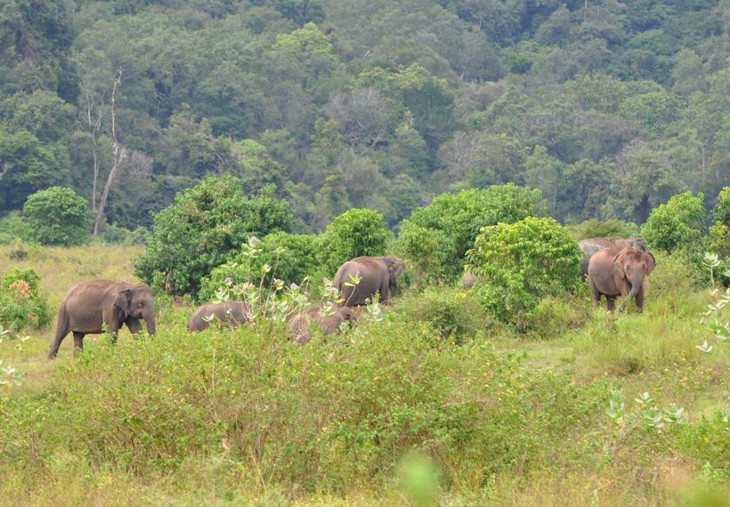 wilde olifanten in maha oya