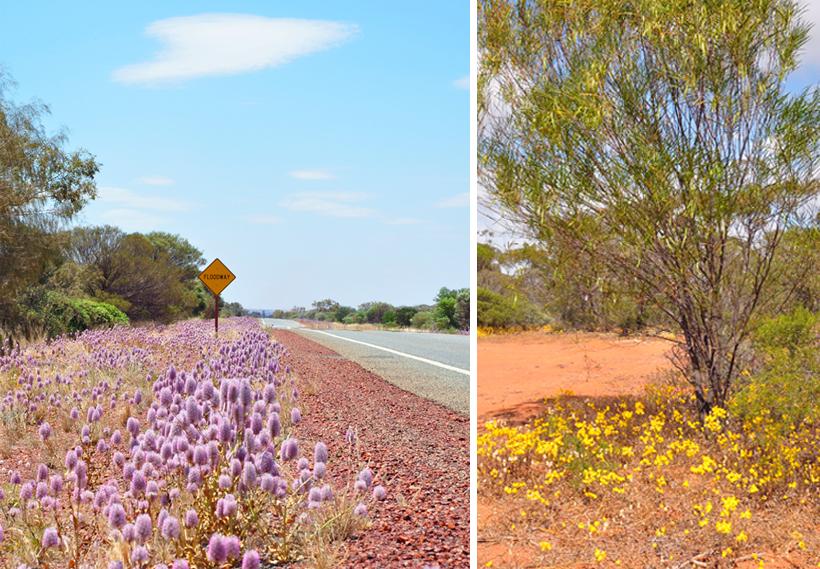 veldbloemen in berm in golden outback