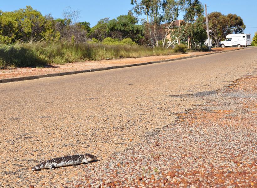 bobtail op de weg in western australia