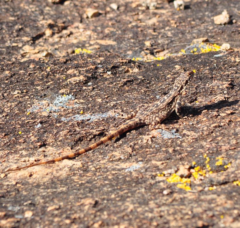 sleetdraak in western australia