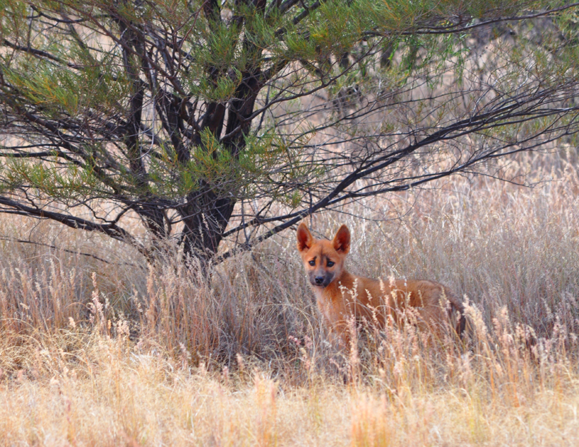 dingo pup golden outback