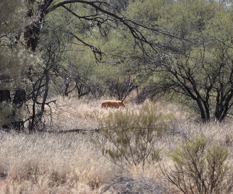 dingo in golden outback bush