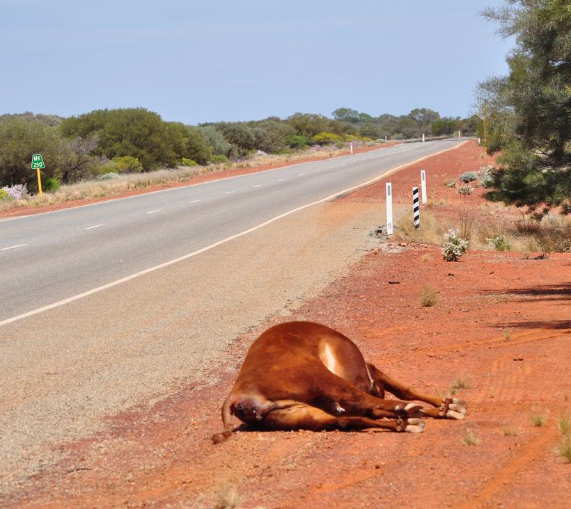 aangereden dieren in golden outback
