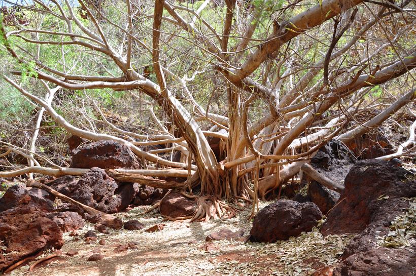 droge boom in canyon karijini nationaal park