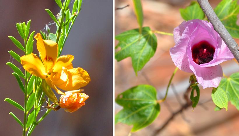 geel en roze veldbloem karijini nationaal park