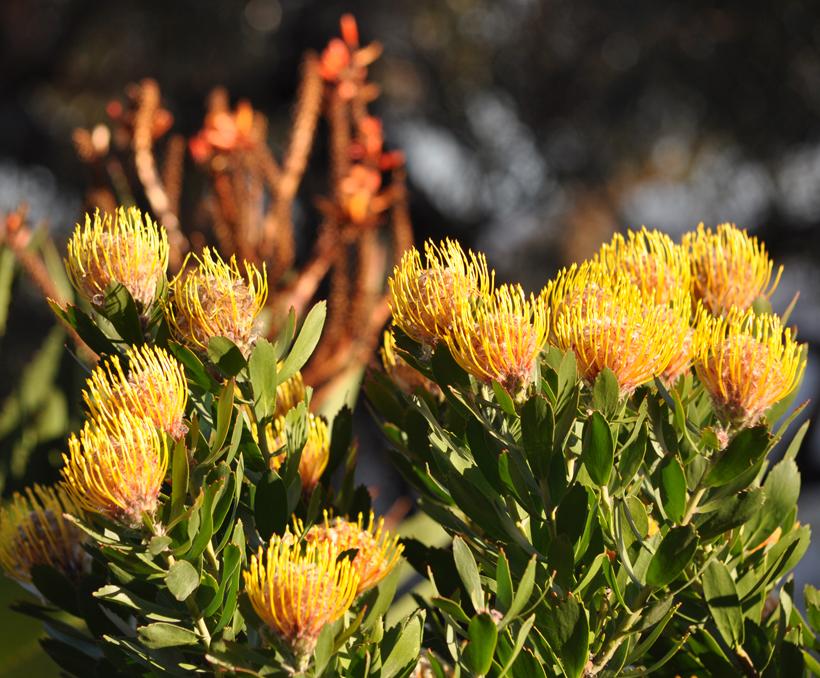 gele veldbloemen western australia