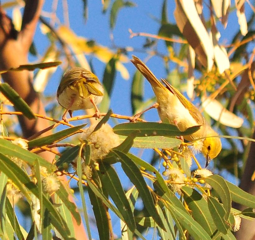 gele vogeltjes emu creek