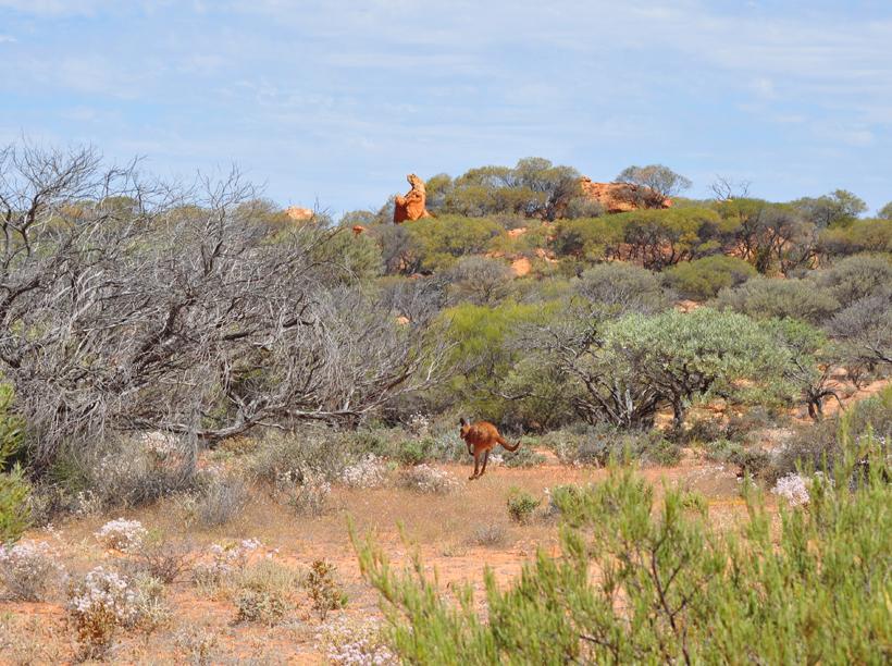 kangoeroe in golden outback