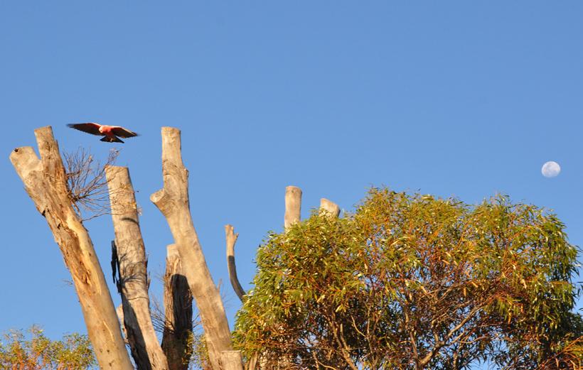 roze kaketoe in western australia