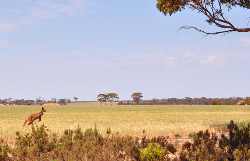 kangoeroes in western australia