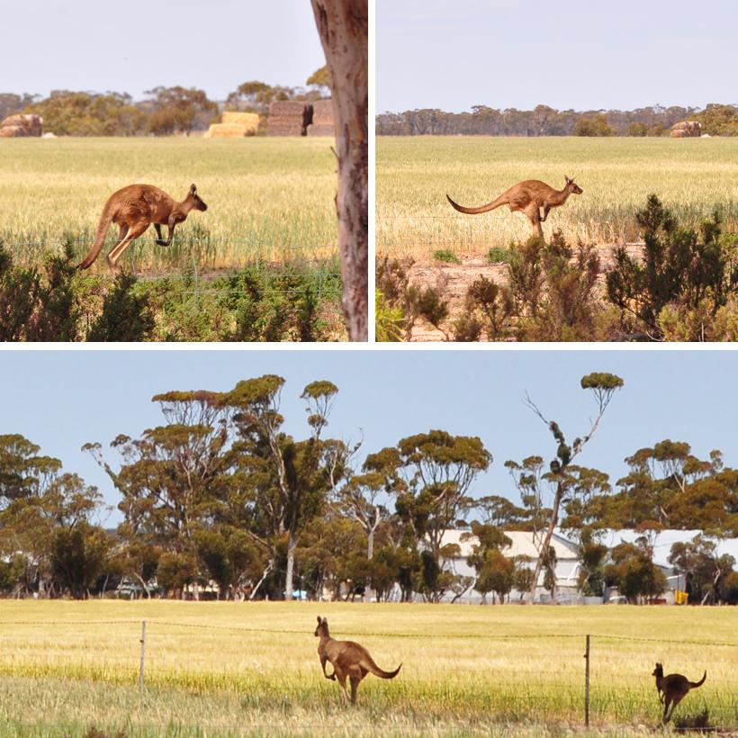 kangoeroe's in western australia
