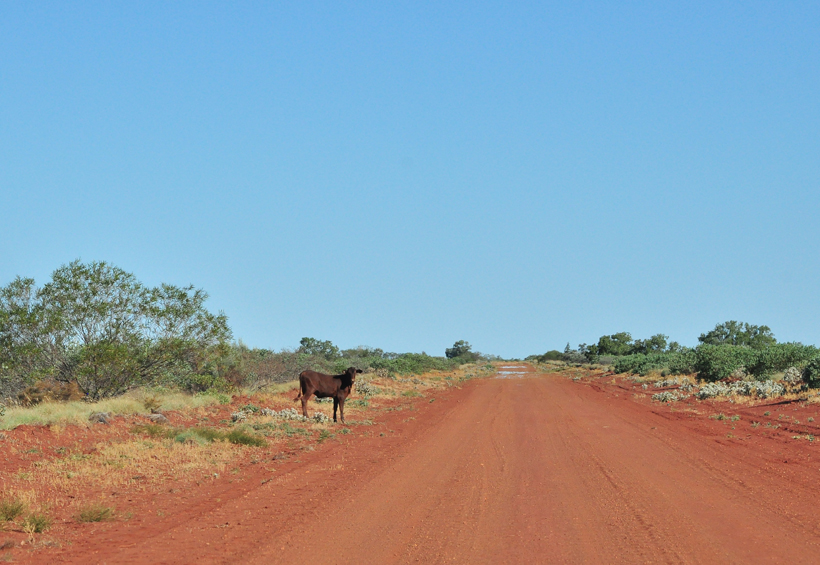 koe op oprit in outback