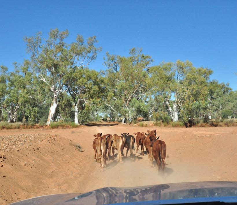 vee mennen in droge kreek emu creek