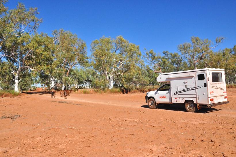 koeien mennen self drive emu creek