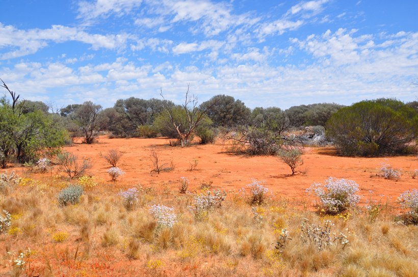 veldbloemen in golden outback