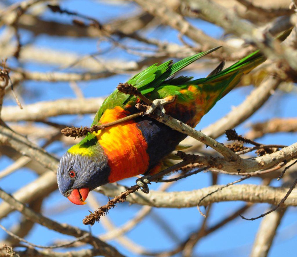 regenbooglori in western australia