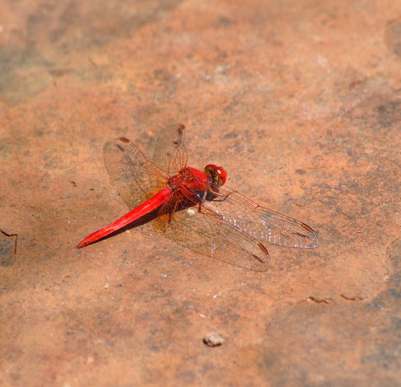 rode libel in karijini nationaal park