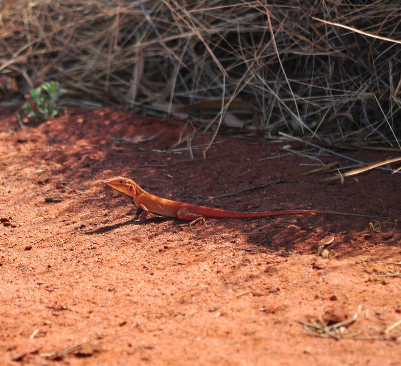 rood hagedisje outback