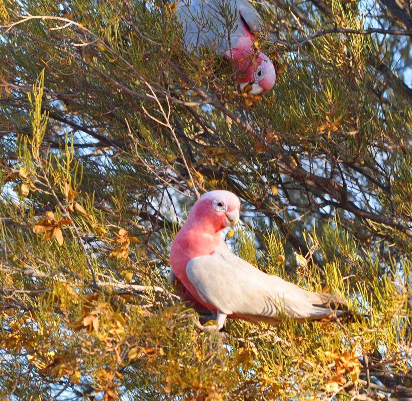 roze kaketoe in golden outback