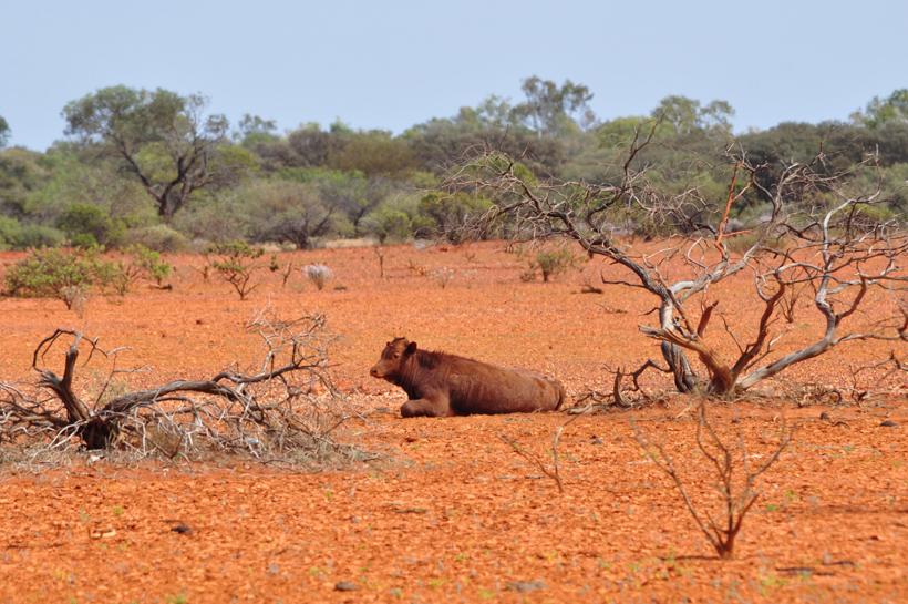 rund in golden outback