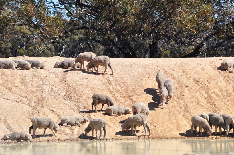 schapen in western australia
