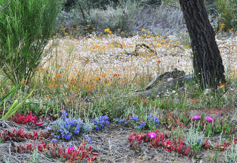 veldbloemen western australia