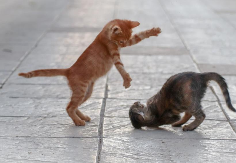 waarom duo kitten
