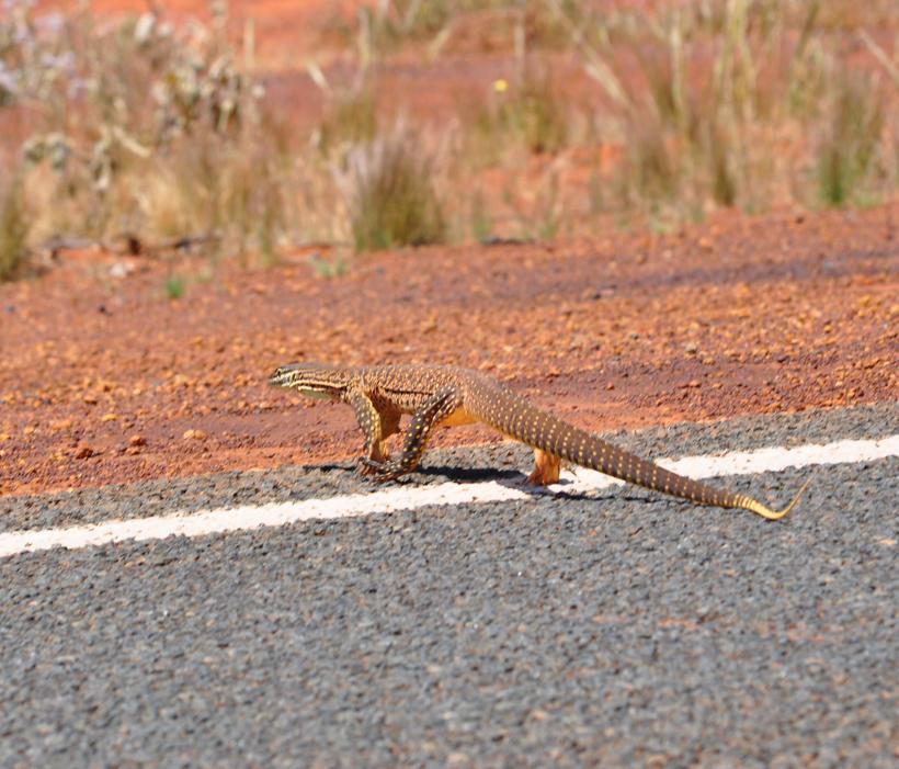reuzenvaraan berm golden outback