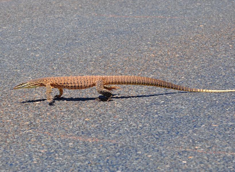 reuzenvaraan over weg in golden outback