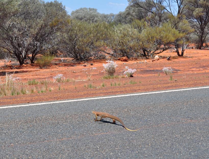reuzenvaraan golden outback