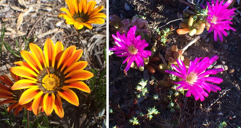 veldbloemen in oktober in western australia