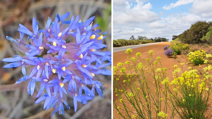 veldbloemen in berm golden outback